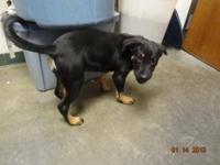 Rottweiler - Junebug - Large - Baby - Female - Dog