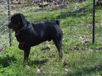 Jr is a registered male rottweiler. He has not been