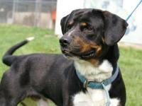 Rottweiler - Merlin - Large - Young - Male - Dog Meet