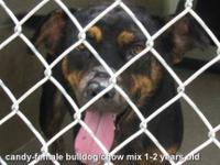 Rottweiler - Milan - Medium - Young - Female - Dog
