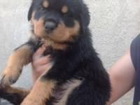 I have 2 boys and 2 girls Rottweiler cross with German