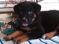BEAUTIFUL ROTTWEILER MIX FEMALE DOG - 6 WEEKS OLD -