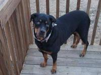 Rottweiler - Moose - Large - Adult - Male - Dog Name: