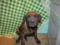 We have one female Neapolitan Mastiff/ Rottweiler mix