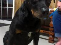 American Rottie Male looking for new home. He is around