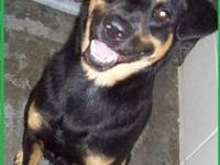 Rottweiler - Patty - Large - Adult - Female - Dog Patty