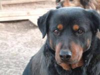 Rottweiler - Pepper - Medium - Adult - Female - Dog