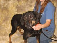 Rottweiler - Preacher - Large - Adult - Male - Dog