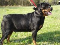Rottweiler - Princess - Extra Large - Senior - Female -