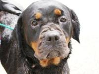 Rottweiler - Princess - Large - Adult - Female - Dog