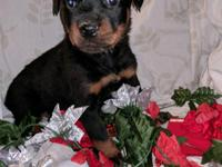 Hi we Have 7 Rottweiler puppies.4 females