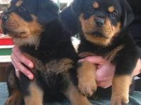 rottweiler puppies 9 weeks old and ready to go to their
