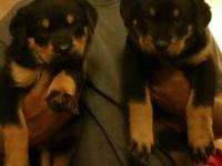 I have 5 gorgeous Rottweiler puppies for sale. The sire