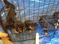 Purebred Rottweiler Puppies. Born June 9. Will be ready