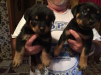 German Rottweiler puppies 4 males 1 female left 300.00