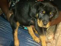Rottweiler puppy for sale only 1 male left. He is 9