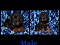 I have 7 Full Blood Rottweiler Puppies. 4 Female, 3