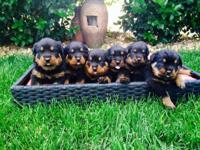 We have 6 adorable puppies ...there AKC and OFA