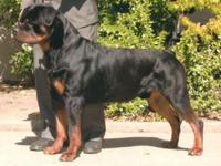 AKC Registered Rottweiler Puppies, Males & & Females,