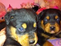 AKC registered Rottweiler pups for sale. Beautiful