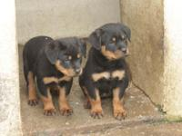 Hi we have 9 Rottweiler puppies for sale 3 boys and 6