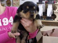Description Georges rottweiler puppies, super sweet