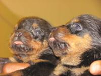purebreed registered german rottweiler pups, born