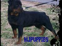 Rottweiler puppies just born will not be ready for 8