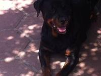 Rottweiler puppies 4 Females 1 Male Born on 4/7/13