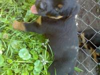 ROTTWEILER PUPS, AKC - HEALTH CERTIFICATES, MALES &