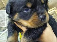 Rottweiler puppies (1 female - 2 males left). Born