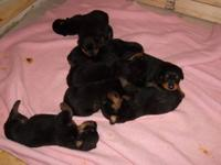 rottweiler puppies i have 1 females left pup parents on