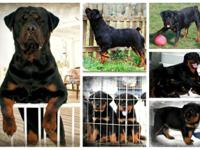 AKC signed up Rottweiler young puppies. tails Docked,