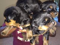 Right here I have 4 German Rottweiler puppies left they