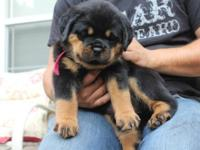 AKC Rottweiler puppies. Absolutely BEAUTIFUL !! Great