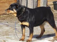 I have 4 Female Purebred Rottweiler puppies who will be