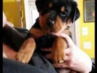 We have 4 rottweiler young puppies left! All females,