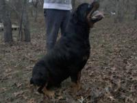 Rottweiler Pups. AKC,large boned, block heads, nice