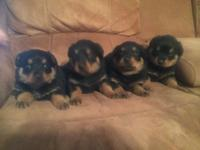6 week old german Rottweiler puppies. They have been