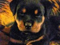 German rottweiler puppies. Wormed and vaccinated.