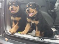 CKC Register rottweiler puppies will be ready May 16th.
