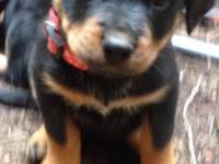 Beautiful german rottweiler puppies :-) ( Only inquire