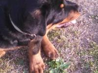 I have 2 Rottweiler puppies for sale one male one