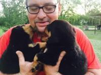 AKC CKC Registered Rottweiler pups, first shots and vet