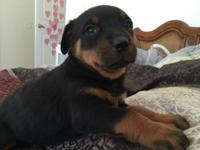 Banks, OR. 6 week old purebred Rottweiler puppies.