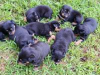I have male and female rottweiler puppies for sale.