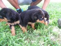 Registered Rottweiler puppies. Pups have tails and dew