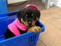 AKC / CKC certified German Rottweiler puppies for