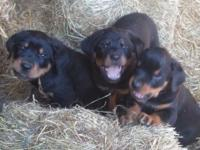 I have 7 (5 male and 2 female) pure bred Rottweiler