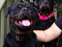 100% Original Rottweilers with AKC. Great blood line.